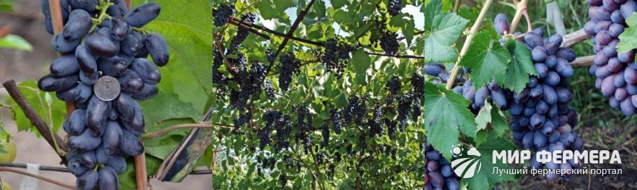 Виноград Байконур плюсы и минусы