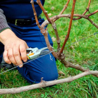 Как обрезать виноград