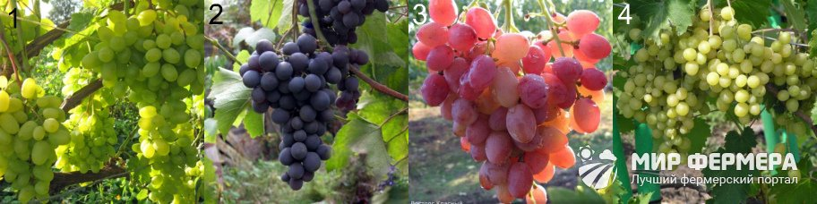 Виды винограда Восторг