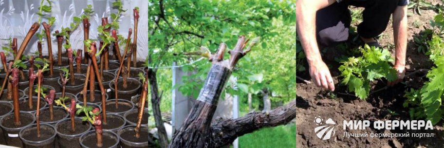 Методы размножения винограда