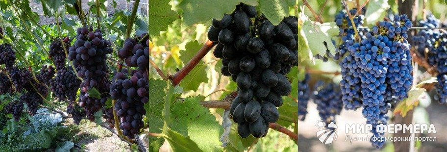 Виноград Кодрянка плюсы и минусы