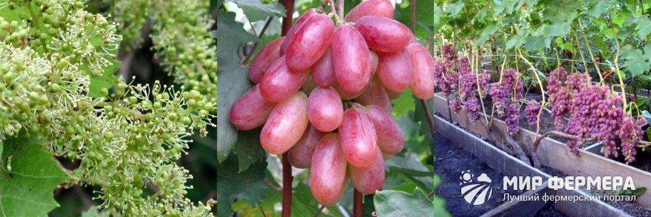 Виноград Преображение плюсы и минусы