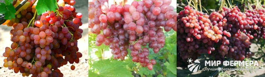 Виноград Велес фото