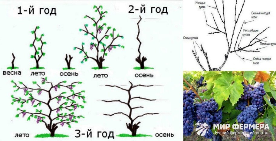 Обрезка старого винограда