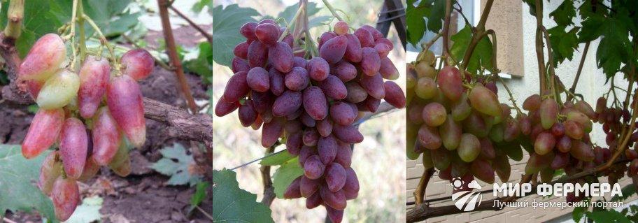 Виноград Дубовский розовый фото