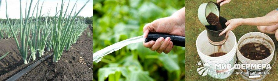 Как поливать лук