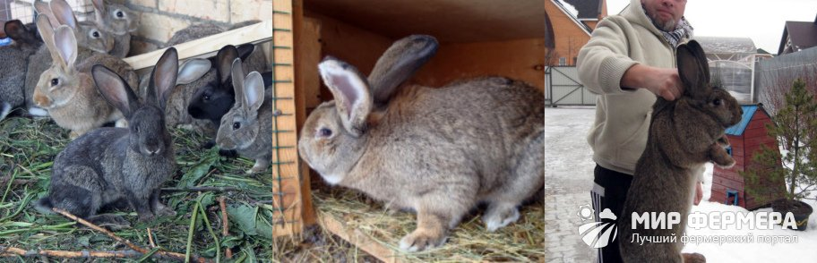 Кролики великаны фото