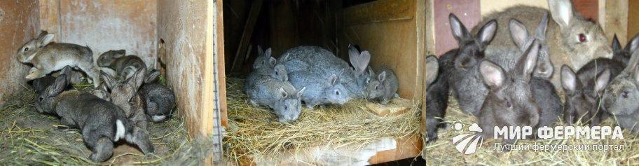 Разведение кроликов великанов