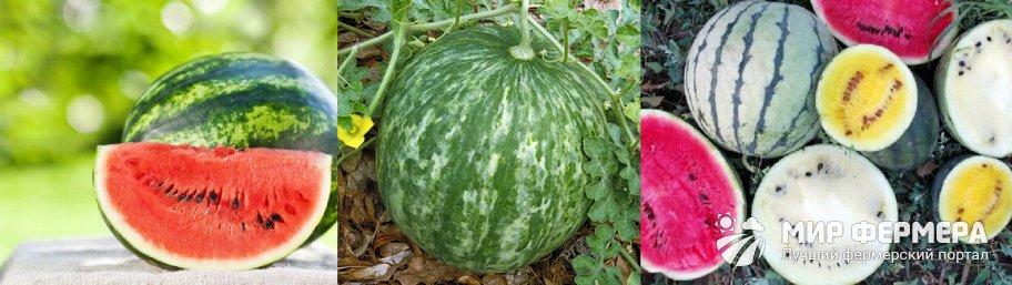 Как выращивать арбузы на даче