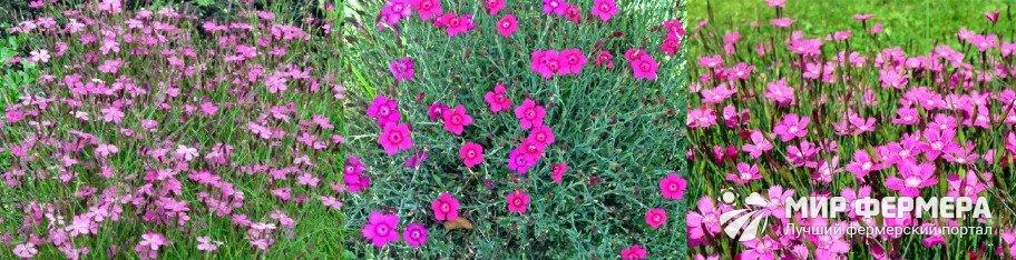 Гвоздика травянка фото