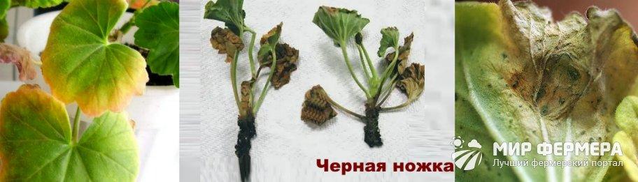 Болезни пеларгонии