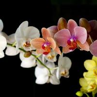 Как поливать орхидею:
