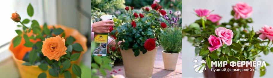 Чем подкормить розу Кордана