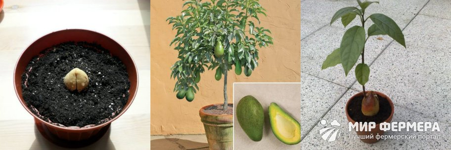 Условия выращивания авокадо