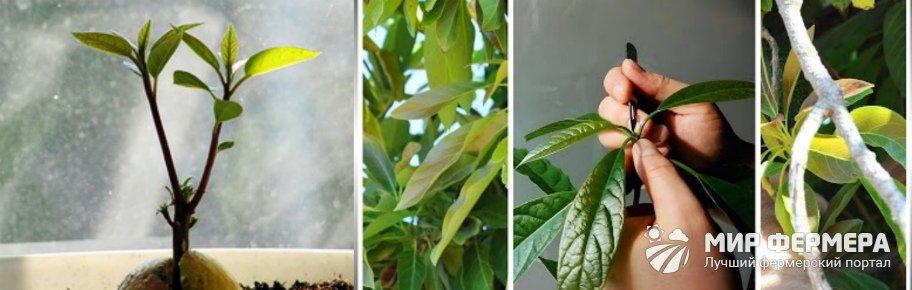 Как прищипывать авокадо