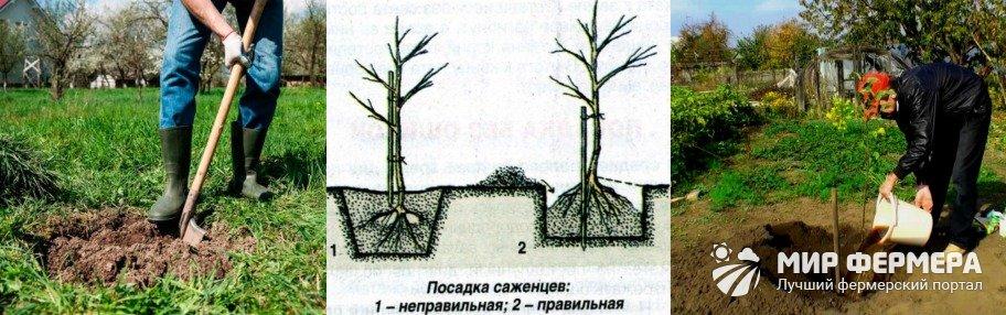 Посадка колоновидной яблони