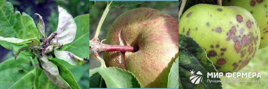 Болезни колоновидной яблони