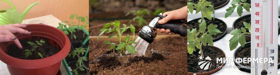 Как ухаживать за рассадой после пикировки
