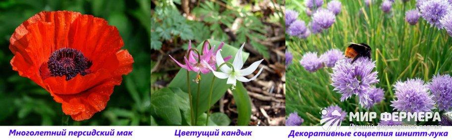 Многолетние цветы средней высоты
