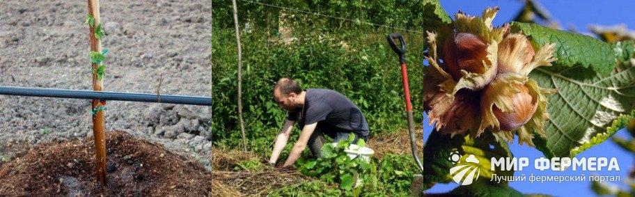 Уход за лещиной в саду