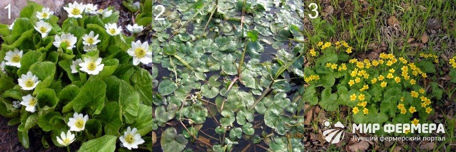 Сорта калужницы болотной