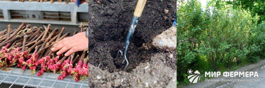 Как посадить золотистую смородину
