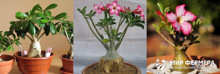 Цветок роза пустыни фото