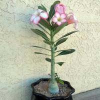Цветок роза пустыни