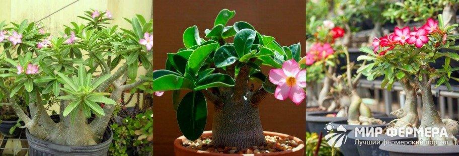 Как ухаживать за розой пустыни дома