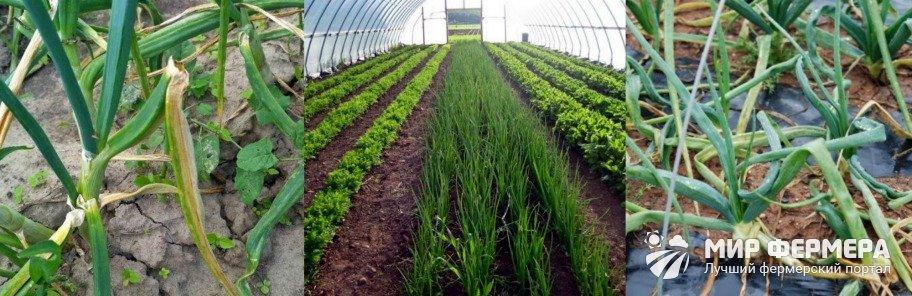 Выращивание зеленого лука в открытом грунте
