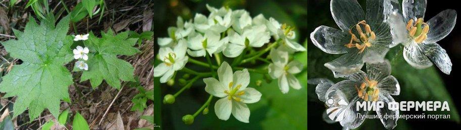 Как цветет двулистник Грея