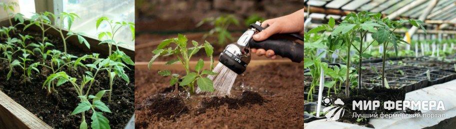 Как ухаживать за пикированной рассадой томатов