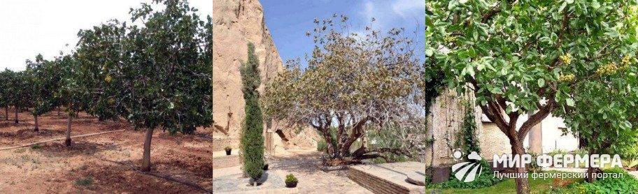 Как вырастить фисташковое дерево