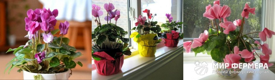 Выращивание цикламена дома