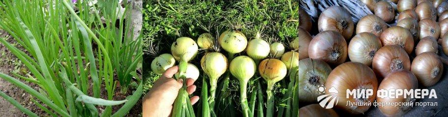 Выращивание озимого лука