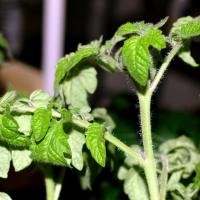 Почему скручиваются листья у помидор