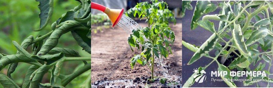 Скручиваются листья томатов на грядке