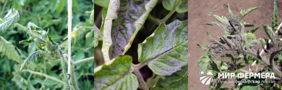 Нехватка удобрений у томатов