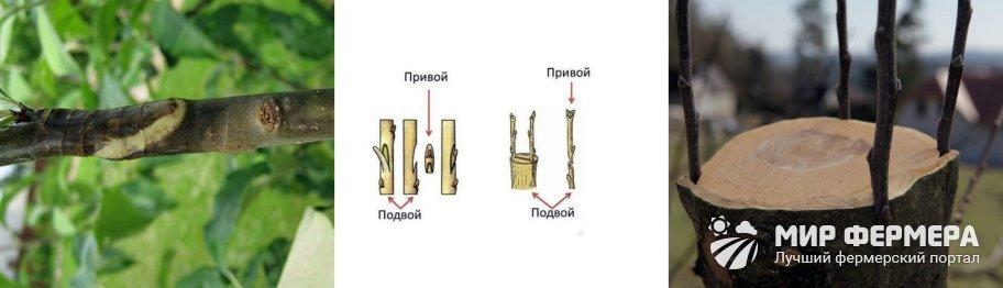 Прививка яблони плюсы и минусы