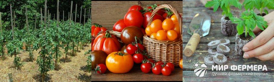 Сроки высадки томатов