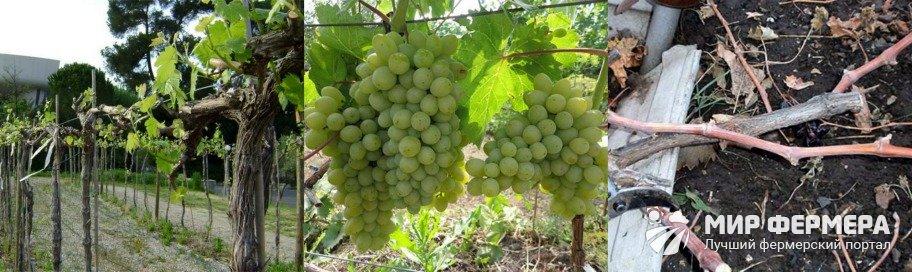 Подготовка винограда к обрезке