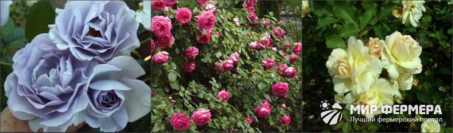 Роза Флорибунда плюсы и минусы