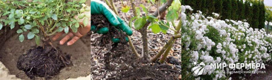 Как посадить розу флорибунда