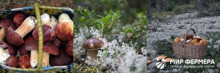 Как собирать белые грибы