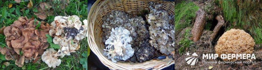 Где растет гриб-баран