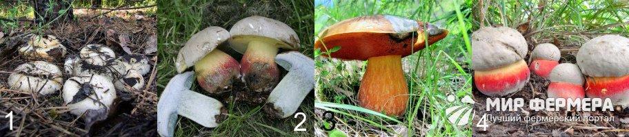 Ложный белый гриб сходные виды