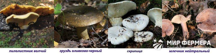 Ядовитые пластинчатые грибы фото и названия