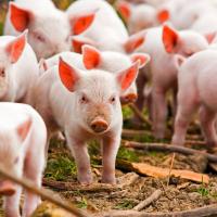 Ленинградские фермеры получат альтернативу свиноводству