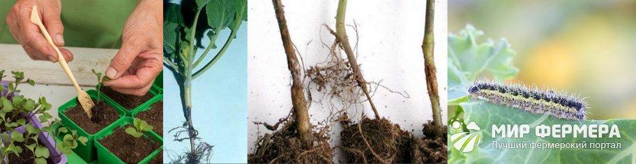 Болезни и вредители декоративной капусты