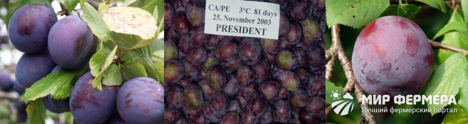 Слива Президент описание
